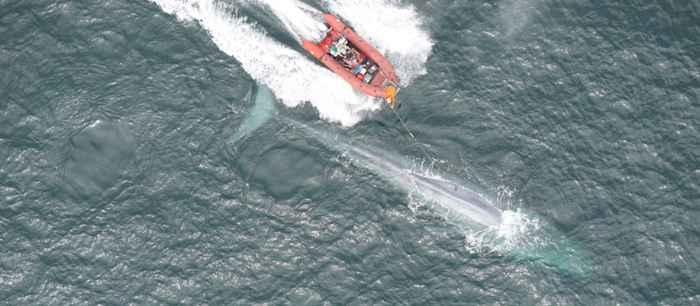 etiquetado de una ballena azul