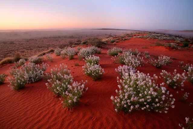 flores en el desierto de Australia