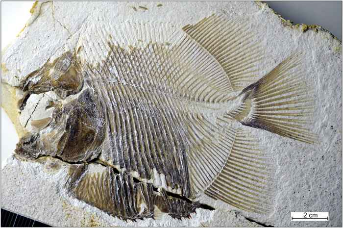 fósil de Piranhamesodon pinnatomus