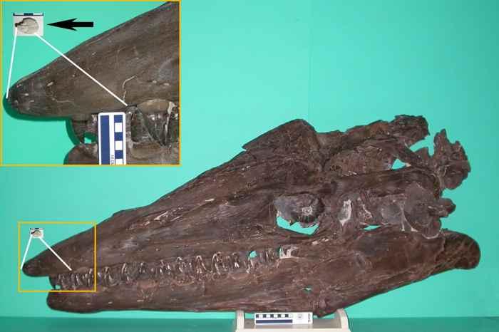fósiles de mosasaurio neonato y adulto
