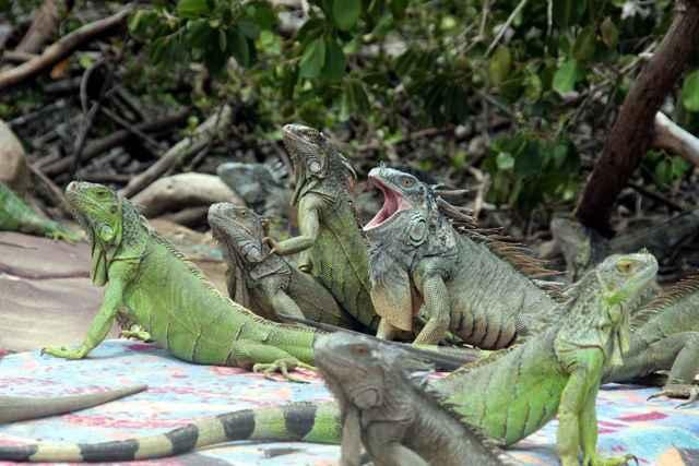 iguanas verdes en los Everglades de Florida