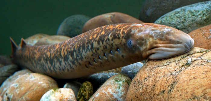 lamprea marina