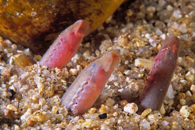 larvas de lamprea marina
