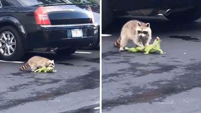 mapache atrapa una iguana en Florida