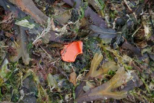 microplásticos entre algas