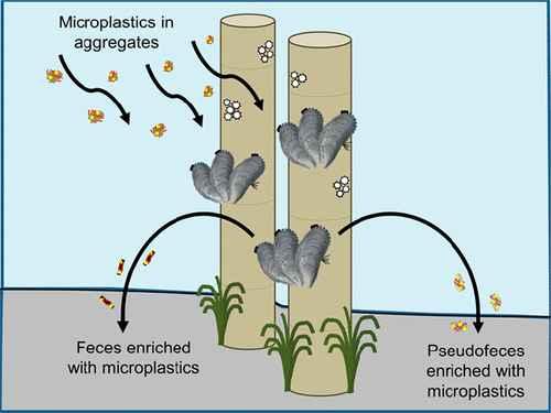 microplásticos en los mejillones