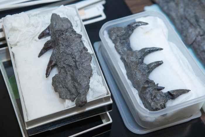 moldes de dientes de mosasaurio