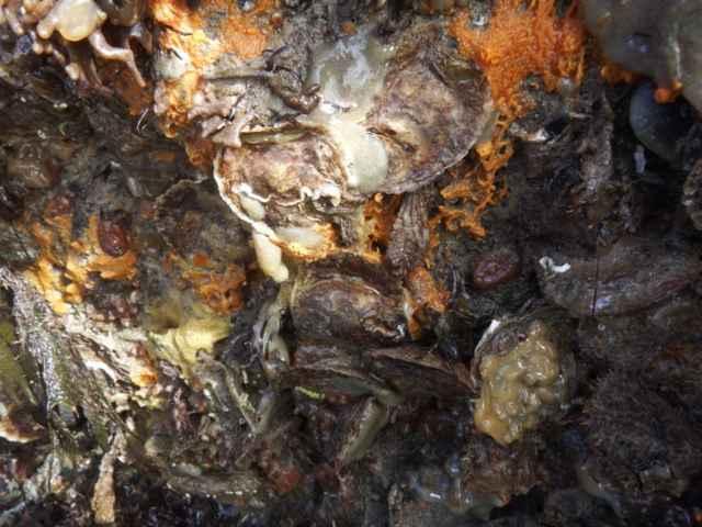 ostras europeas
