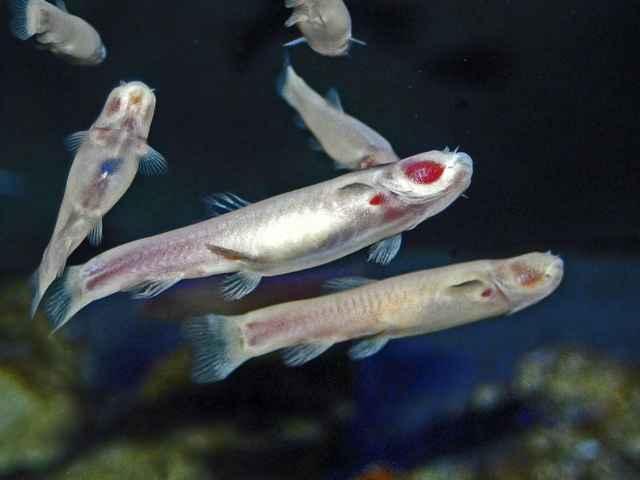 pez cavernario somalí
