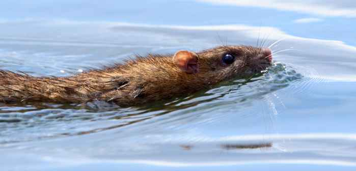 rata nadando