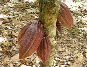 frutos del árbol del cacao