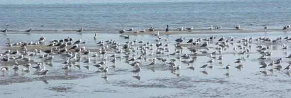 gaviotas en la playa sur de Peñíscola