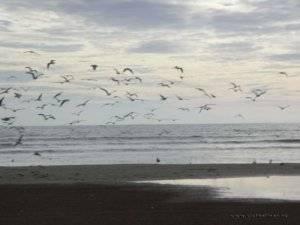gaviotas en vuelo playa sur Peñíscola