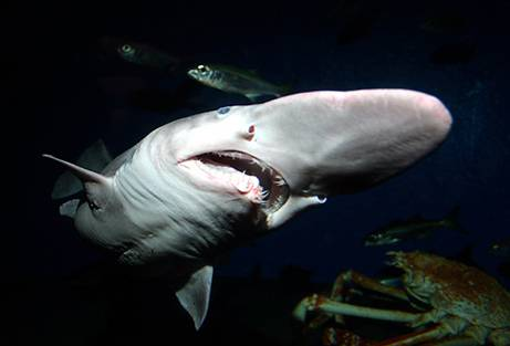 Tiburón duende (goblin shark) en un acuario