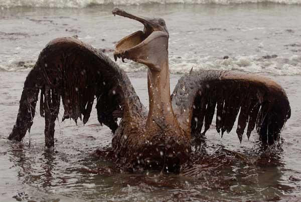 Pelícano pardo cubierto de petróleo, Louisiana