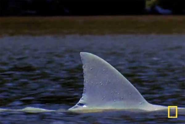 aleta de tiburón en un rio