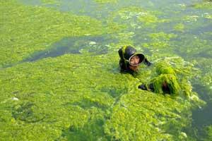 buzo chino recoje alga verde