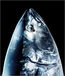 cabeza de atún rojo