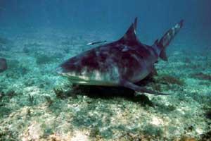 Carcharhinus leucas (tiburón toro)