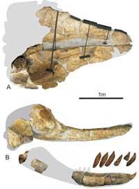 cráneo fósil de Leviatan Melvillei