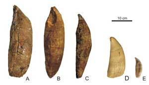 dientes, Leviatan melvillei, cachalote y orca