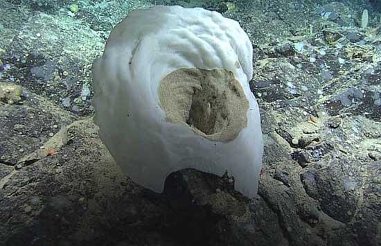 esponja de vaso desconocida