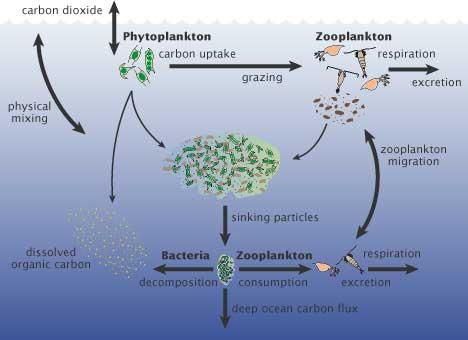 flujos del carbono en la capa superior del  océano