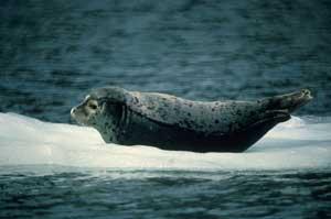 foca común (Phoca vitulina)