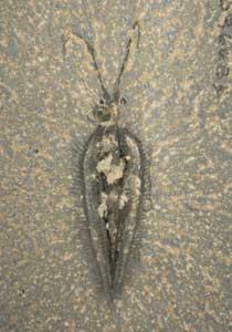 fósil del Nectocaris pteryx