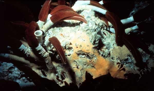 gusanos marinos de tubo