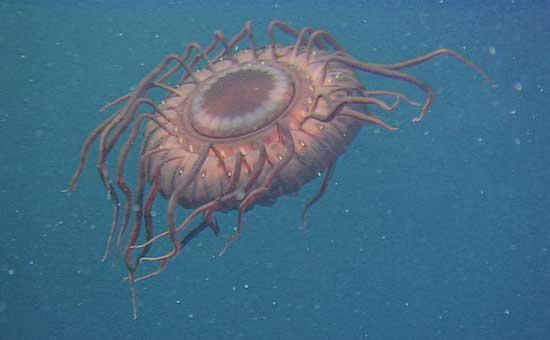 medusa de las profundidades (Atolla wyvillei)