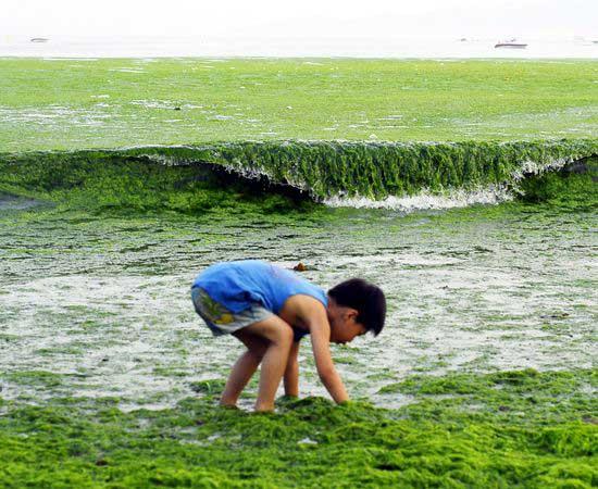 niño recoje algas verdes en una playa de China