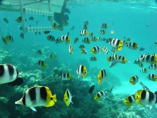 peces luna en un arrecife