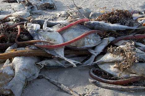 peces muertos por marea roja de fitoplancton