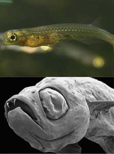pez drácula (Danionella dracula)