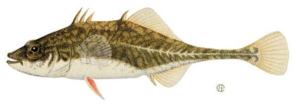 pez espinoso