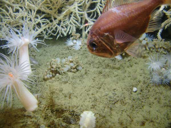 pez junto a un arrecife de coral y anémonas