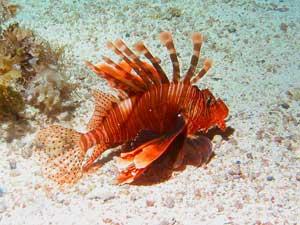 pez león juvenil, Eegipto