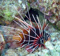 pez león (Pterois radiata)