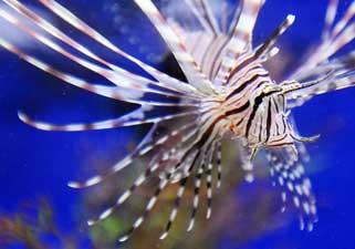 pez león (Pterois volitans)