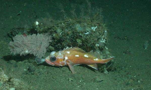 pez de roca en coral de las profundidades