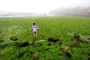 playa china cubierta de algas verdes