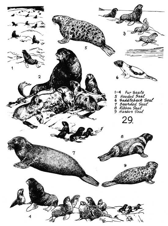 poster focas marinas
