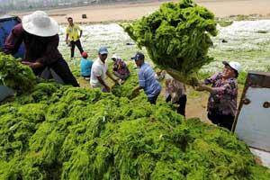 recogida de alga  verde, China