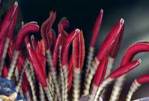 Riftia pachyptila (gusano marino de tubo)