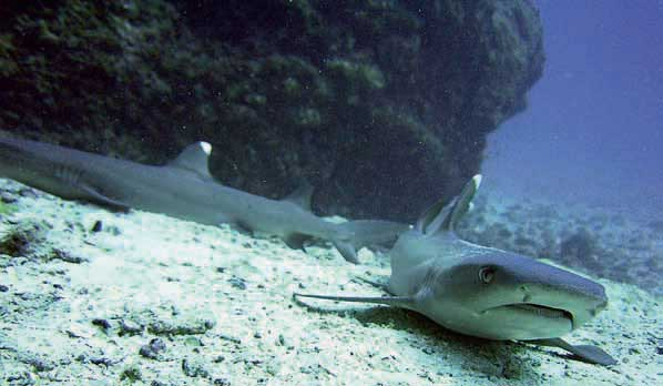 tiburón coralero ñato