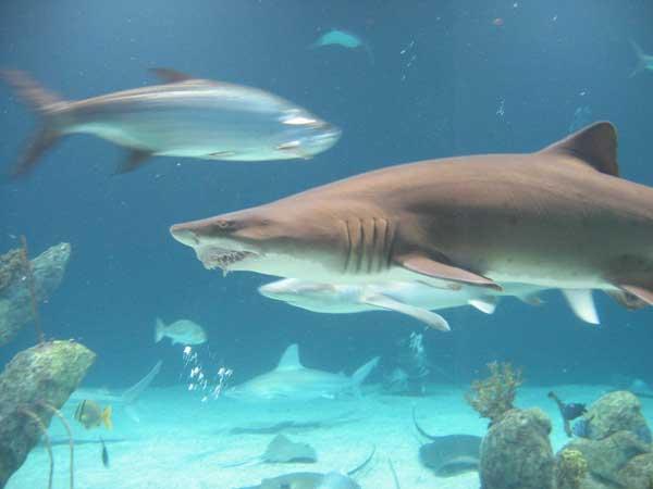 tiburones buscan comida