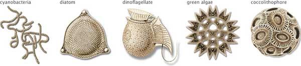 tipos de fitoplancton