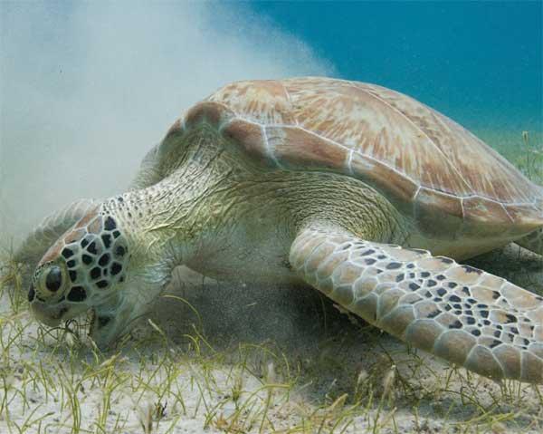 tortuga marina, Oceana