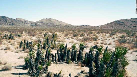 yuca del Mojave